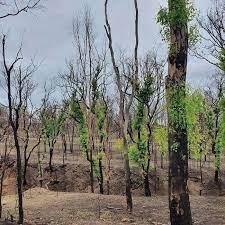 Yangından Sonra Orman Restorasyonu